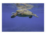 Maui Green Turtle