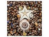 Urchin Star Sea Shells Reproduction d'art