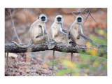Gray Langurs on Tree