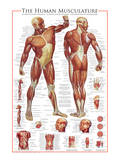 The Muscular System Reproduction d'art