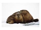 River Otters Reproduction d'art