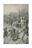 Negroes at Work in a Sugar-Cane Plantation in Jamaica