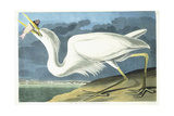 Great White Heron  Male Adult  Spring Plumage  1835