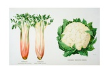 Celery and Broccoli  Illustration from 'Harrisons' Seed Catalogue'  C1900