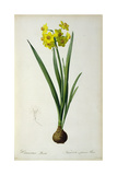 Narcissus Lazetta  from `'Plantae Selectae' by Christoph Jakob Trew