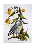 Little Horned Owl  from 'Indian Zoology'  Published 1790