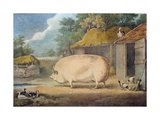 A Leicester Sow  2 Years Old  the Property of Samuel Wiley
