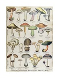 Botanical Plate Depicting 'Good and Bad Mushrooms'  C1900