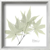 Japanese Maple in Green