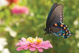 Green Swallowtail Butterfly Feeding On A Pink Zinnia In Sunny Summer Garden