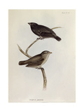 Pair of Geospiza Parvula  Illustration from 'The Zoology of the Voyage of HMS Beagle  1832-36