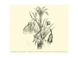 Liliaceae of Sacsahuaman  Amaryllis Aurea  Crinum Urceolatum  Pancratium Recurvatum
