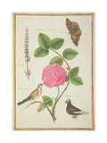 Pd109-1973F60 Centifolia Rose  Lavender  Tortoiseshell Butterfly  Goldfinch and Crested Pigeon