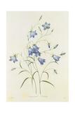 Campanula  from 'Choix Des Plus Belles Fleurs'  1827-33