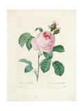 Hundred-Leaved Rose