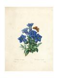 Stemless Gentian  from 'Choix Des Plus Belles Fleurs Et Des Plus Beaux Fruits'  Vol Ii  1827-33