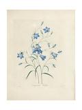 Bluebells  from 'Choix Des Plus Belles Fleurs Et Des Plus Beaux Fruits'  1827-33