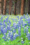 Blue Bonnets at Wawona  Yosemite National Park