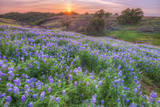 Lupine Sunset at Table Mountain  Northern California