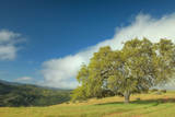 Oak Tree and Central Valley Hills  California