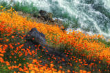 Poppies by the Merced River  Merced River Canyon