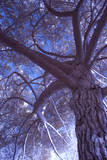 Celebration Tree  Infrared  Oakland  California