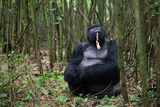 A Male Silverback Mountain Gorilla  Gorilla Gorilla Beringei  Eating in a Bamboo Forest at Rest
