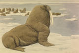 A Painting of a Pacific Walrus Sitting on Ice in Front of the Herd
