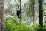 An Adult Gorilla Climbs a Tree in the Impenetrable Forest