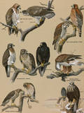 A Painting Portraying Various Species of Hawks