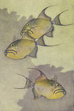 A Painting of Three Queen Triggerfish