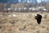 A Bald Eagle  Haliaeetus Leucocephalus  Flying Low over a Field