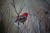 Portrait of a Male Pine Grosbeak  Pinicola Enucleator  Perched on a Tree Branch