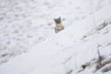 A Coyote  Canis Latrans  Looking over a Snowy Hill