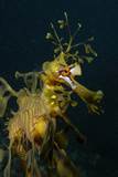 Close Up Portrait of a Leafy Seadragon  Phycodurus Eques