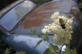 Hoverfly (Syrphidae) on a Fern-Leaf Dropwort (Filipendula Vulgaris) Flower  Bastnas  Sweden