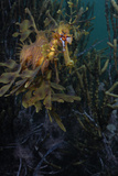 Close Up Portrait of a Leafy Seadragon  Phycodurus Eques  Camouflaged Among Seaweeds