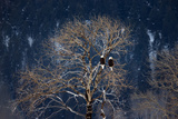 Two Bald Eagles  Haliaeetus Leucocephalus  Perched in a Tree on a Snowy Day