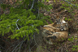 Young Cougars Rest under a Pine Tree in Wyoming's Bridger Teton National Forest