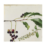 A Sprig of Black Cherry Tree Blossoms and Berries
