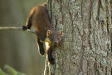 Pine Marten (Martes Martes) in Tree  Beinn Eighe National Nature Reserve  Wester Ross  Scotland
