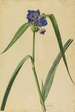 This Plant Is a Member of the Spiderwort Family