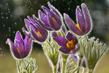Pasque Flowers (Pulsatilla Vulgaris) in Rain  Lorraine  France  April