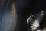 Tengmalm's Owl (Aegolius Funereus) Close-Up of Eye Kuusamo Finland