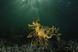 Portrait of a Leafy Seadragon  Phycodurus Eques  Among Feathery Seaweeds