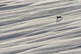 Mountain Hare (Lepus Timidus) Running across Snow Field  Cairngorms National Park  Scotland