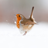 Robin (Erithacus Rubecula) Displaying in Snow  Nr Bradworthy  Devon  UK
