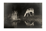 A View of a Red Deer's Reflection in the Lake as it Eats