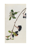 A Sprig of Black Chokeberry Blossoms and Berries