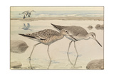 A Painting of Willets in Both Winter and Summer Plumage
